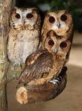 三头猫头鹰 库存图片