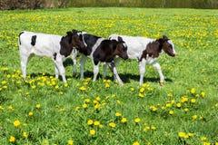 三头黑白色小牛在绿色草甸走用蒲公英 免版税库存照片