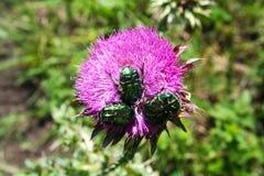 三绿色甲虫坐花 免版税库存图片