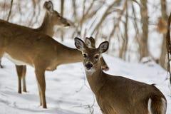 三头野生鹿的美好的图象在多雪的森林里 图库摄影