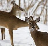 三头野生鹿的美好的图象在多雪的森林里 库存图片