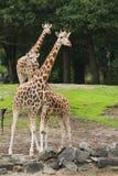 三头长颈鹿 免版税库存图片