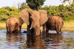 三头非洲大象在河站立在乔贝国家公园,博茨瓦纳 库存照片