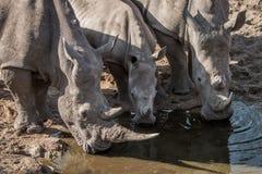 三头饮用的白色犀牛 库存照片