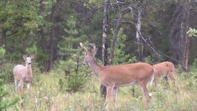 三头鹿在森林里 股票视频