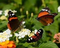 三buterflies 免版税库存图片