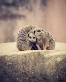 三meerkats挤作一团 免版税库存图片