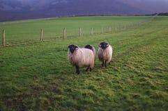 三sheep& x27; 在绿草的s在Croagh帕特里克山 免版税库存图片