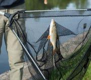 上勾的鲤鱼,钓鱼在湖岸, Voznice,捷克 免版税库存照片