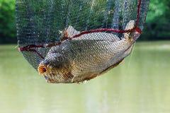 上勾的鲤鱼,钓鱼在湖岸, Voznice,捷克Repu 免版税库存照片