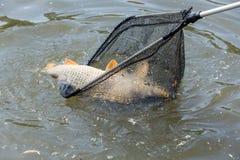 上勾的鲤鱼,钓鱼在湖岸, Voznice,捷克Repu 免版税库存图片