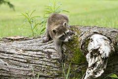 上升下来从日志的小的浣熊 免版税库存图片