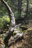 上升从森林地板的死的肢体 免版税库存图片