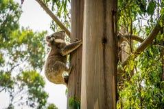 上升到一棵树的由后面照的考拉在锐利露营地在澳大利亚 库存图片