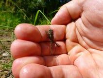 上升在一只人的手上的小棕色青蛙 免版税库存照片