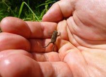 上升在一只人的手上的微小的棕色青蛙 库存照片