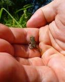 上升在一只人的手上的逗人喜爱的小的青蛙 图库摄影