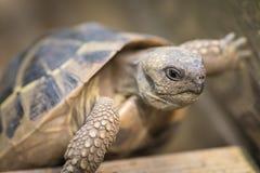 上升在一块木头的草龟 免版税库存图片