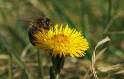 上升在一朵黄色花的蜂 图库摄影