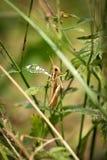 上升在一棵植物中的蚂蚱在庭院里 免版税库存照片