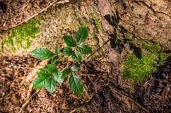 上升在一棵老杉树旁边的年轻树 免版税库存照片
