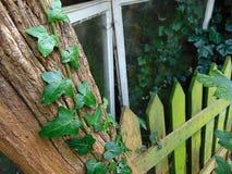 上升在与与青苔的一棵老树的常春藤盖了篱芭 免版税库存照片