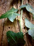上升在与破裂的纹理的一棵老树的常春藤 免版税图库摄影