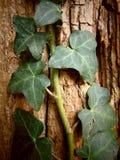 上升在与破裂的纹理的一棵老树的常春藤 库存照片