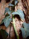 上升在与破裂的纹理的一棵老树的常春藤 库存图片