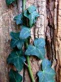 上升在与破裂的纹理的一棵老树的常春藤 免版税库存图片