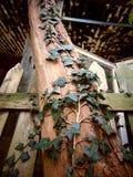 上升在与破裂的纹理的一棵老树的常春藤 图库摄影