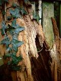 上升在与破裂的纹理的一棵老树的常春藤 免版税库存照片