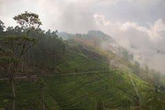 上升在与茶园的小山的薄雾 免版税库存图片