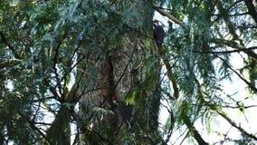 上升在俄勒冈的两只啄木鸟 股票录像