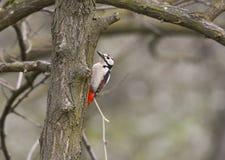 上升在分支的啄木鸟 免版税库存图片