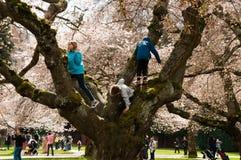 上升在华盛顿大学的樱桃树 免版税库存图片