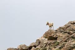 上升在岩石山坡的一只幼小山绵羊 免版税库存图片