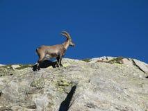 上升在岩石的小的高山高地山羊 免版税库存照片