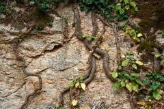 上升在岩石的藤本植物 库存图片