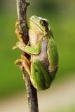 上升在枝杈的逗人喜爱的欧洲雨蛙 库存图片