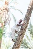 上升在枣椰子树的人 免版税图库摄影