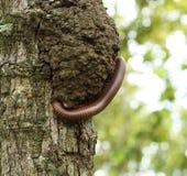 上升在树的千足虫 免版税库存照片