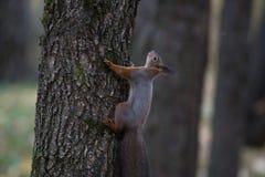 上升在树的灰鼠 免版税库存图片