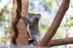 上升在树的考拉 免版税库存照片