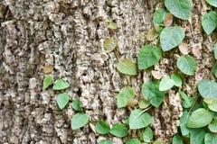 上升在树皮的榕属pumila 免版税库存照片