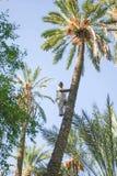 上升在棕榈树的人在绿洲 图库摄影