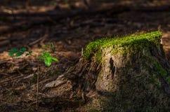 上升在森林里的一棵年轻树在与青苔的一根老杉树断枝旁边在上面 免版税库存图片