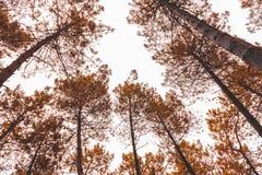 上升在森林里的许多杉树 免版税库存照片