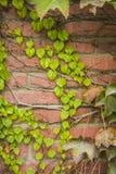 上升在灰泥墙壁上的绿色常春藤 库存照片