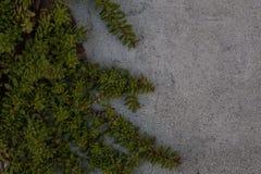 上升在灰色水泥墙壁上的叶茂盛藤 库存照片